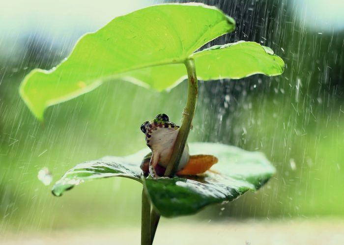 Żaba pod liściem chowa się w czasie deszczu