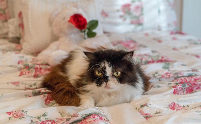 Kot perski w pościeli.