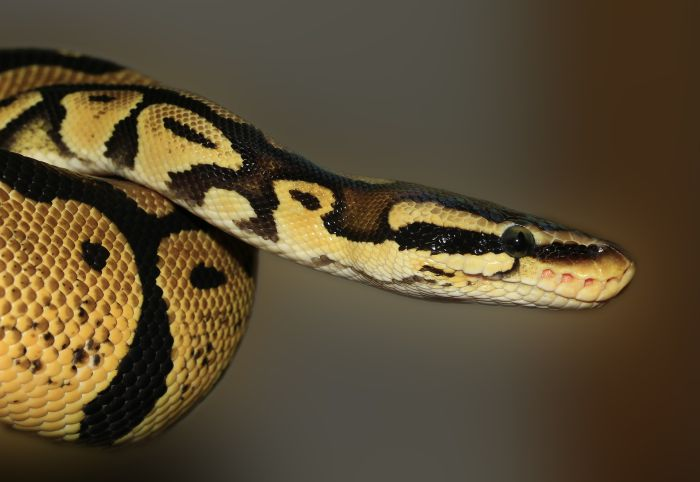 Pyton królewski brązowy w żółte łaty.
