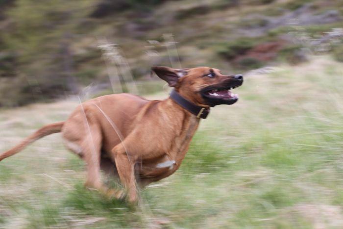 Rodezjan biega i szaleje po polanie