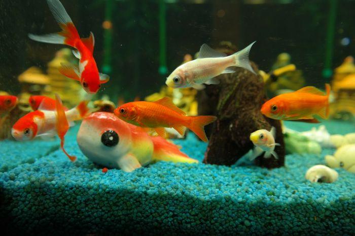 Rybki słodkowodne w akwarium z ozdobami.
