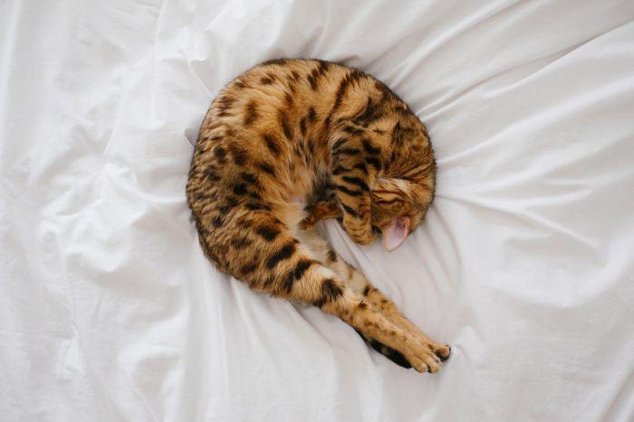 Kot bengalski w łóżku