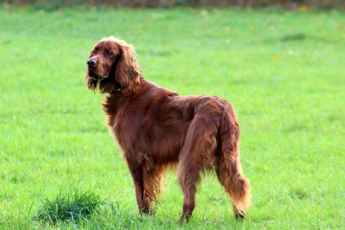 Seter irlandzki jest szczupłym i atletycznym psem, należącym do ras dużych