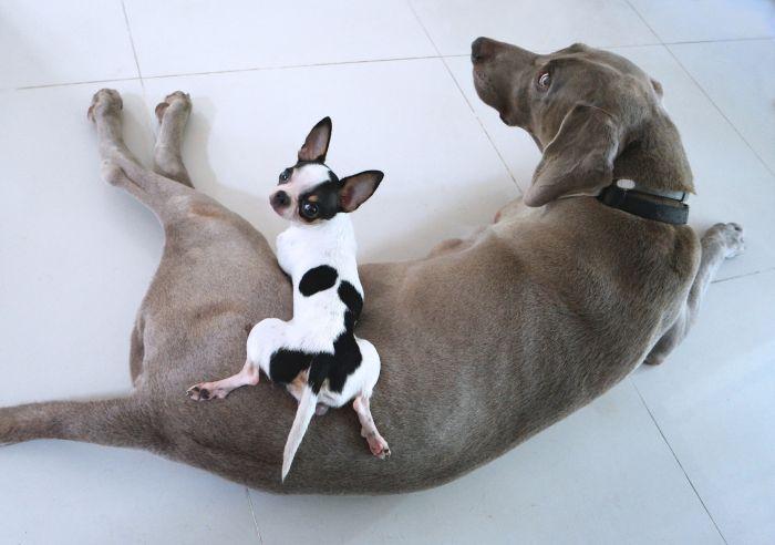 Chihuahua leży na psie rasy dużej.