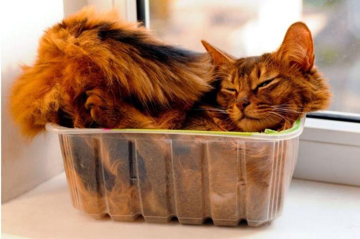 Kot somalijski leży w pudełeczku plastikowym.