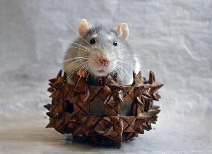 Szczur w legowisku, w kształcie koszyczka.