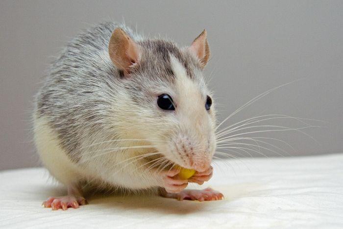 Szczur gryzie ziarenko kukurydzy.