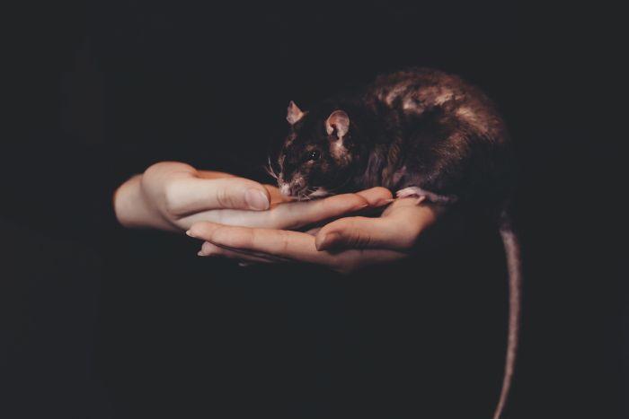 Szczur na rękach dziewczyny.