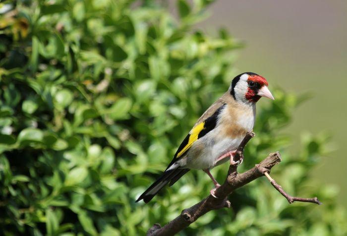 Szczygieł - kolorowy ptak śpiewający.