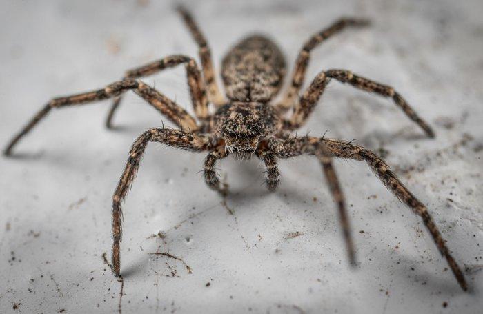 Tarantula na białym tle.