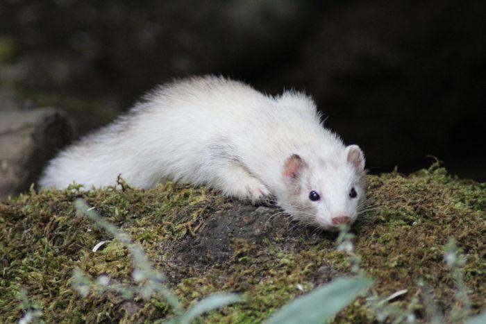 Tchórzofretka jest krzyżówką fretki domowej odmiany albinotycznej z tchórzem zwyczajnym.