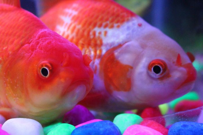 Rybki akwariowe na dnie akwarium