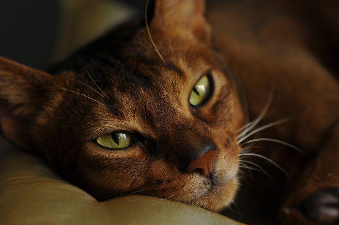 Kot abisyński z zielonymi oczami.