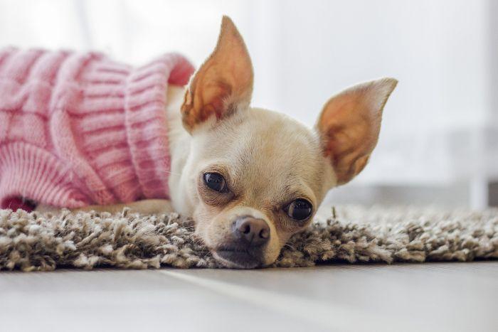Chihuahua w ubranku dla psa małego.