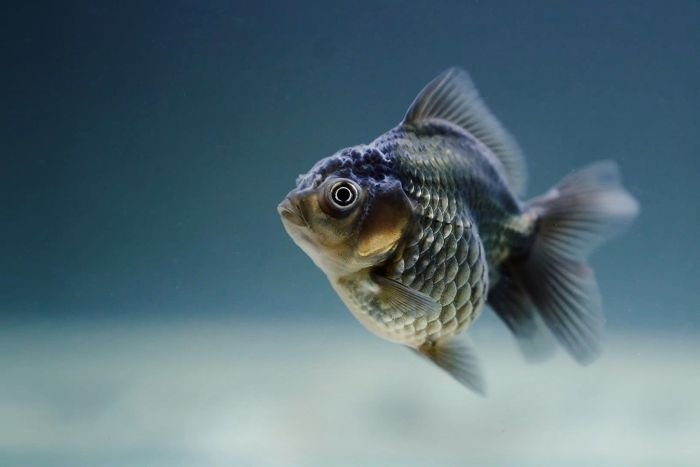 Ryba welonka szara