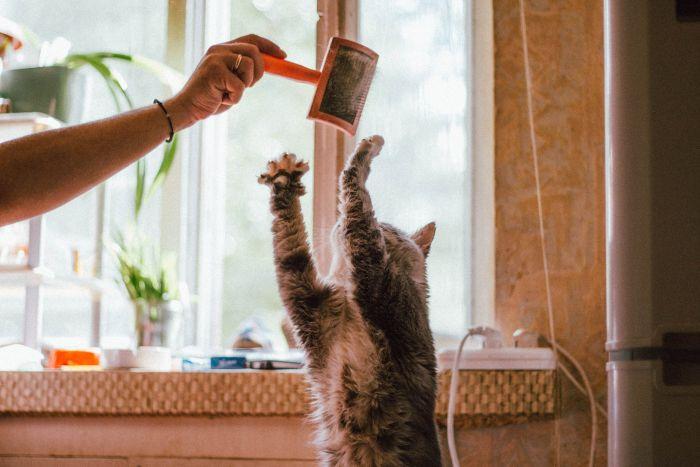 Kot próbuje sięgnąć szczotki do czesania.