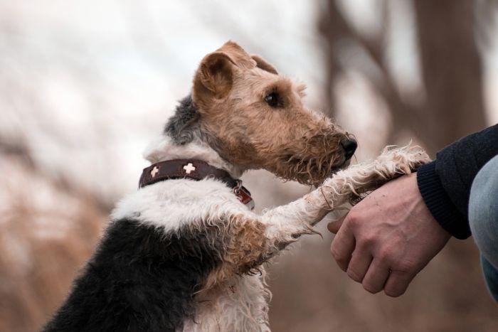 Foxterrier trzyma łapę na ręce człowieka