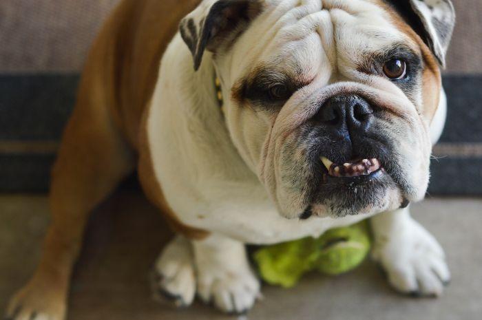 Buldog angielski z widocznym krzywym uzębieniem. Psy ras brachycefalicznych często zmagają się z wadami zgryzu.