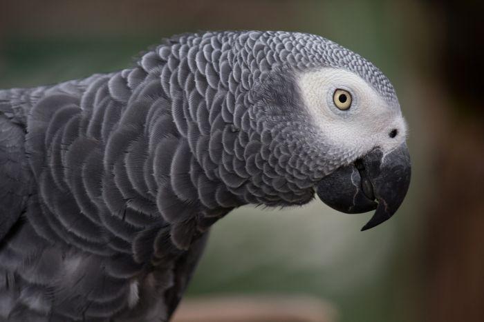 Papuga żako ma piękne szare pióra i białą plamę w okolicy oczu