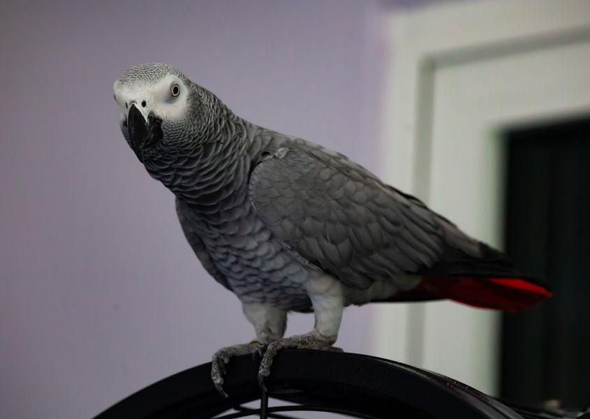 Gadająca papuga żako