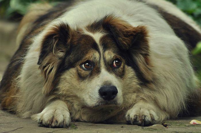 Pies z zespołem Cushinga.