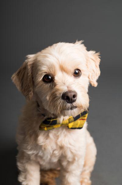 Pies z żółtą kokardką.