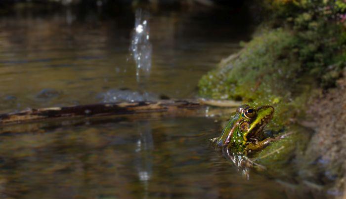 Żaba w oczku wodnym