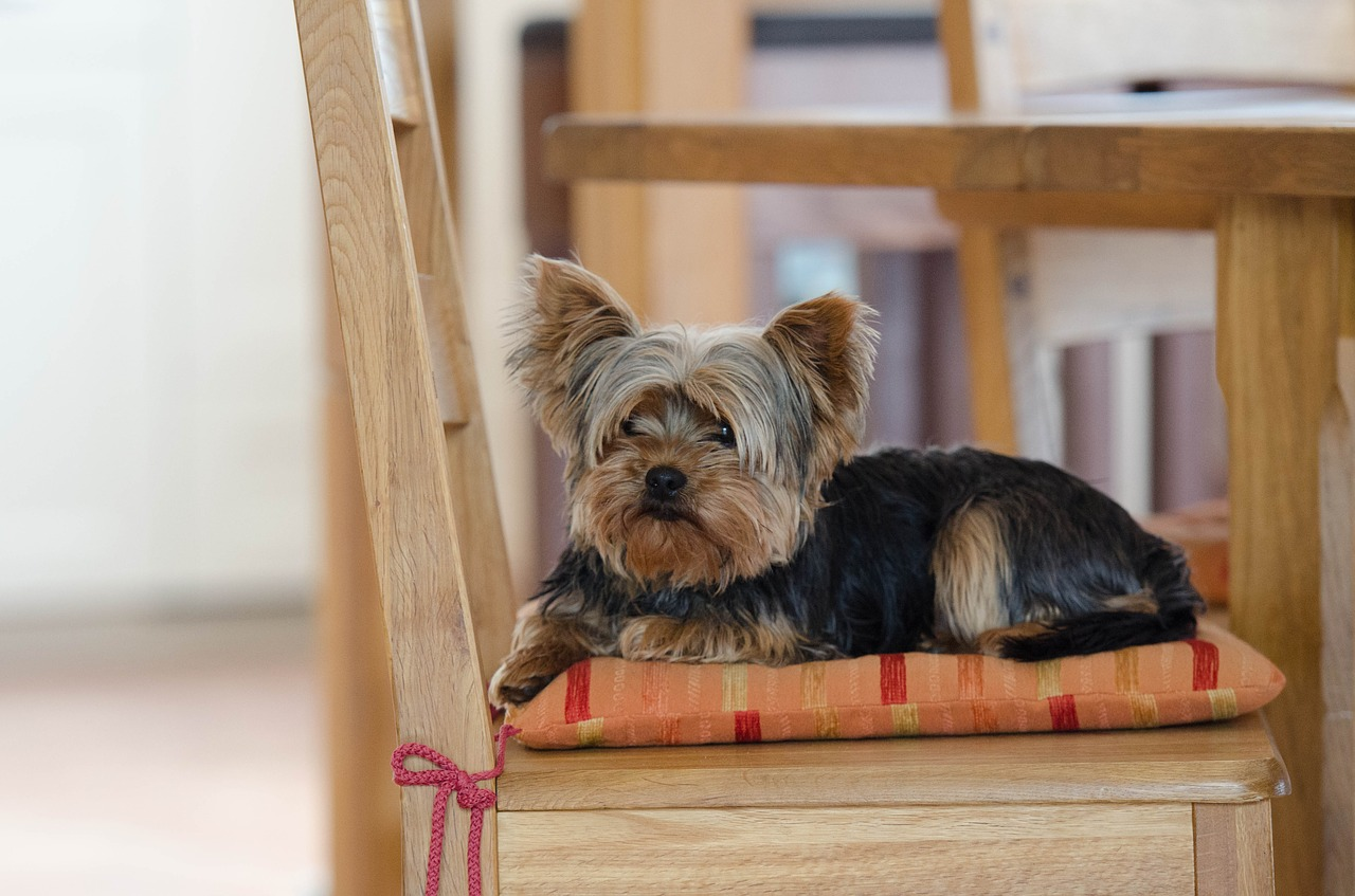Starszy yorkshire siedzi grzecznie na krześle i wpatruje się w obiektyw. Ma długą grzywkę, a jego sierść jest czarno - brązowa.