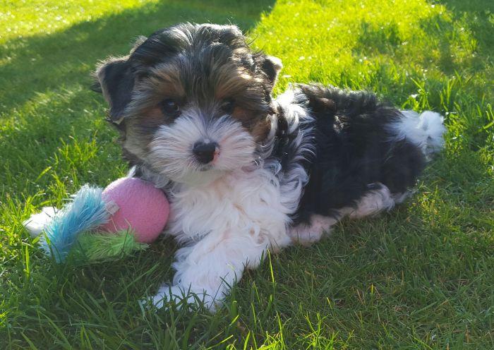Yorkshire terrier biewer bawi się na trawie