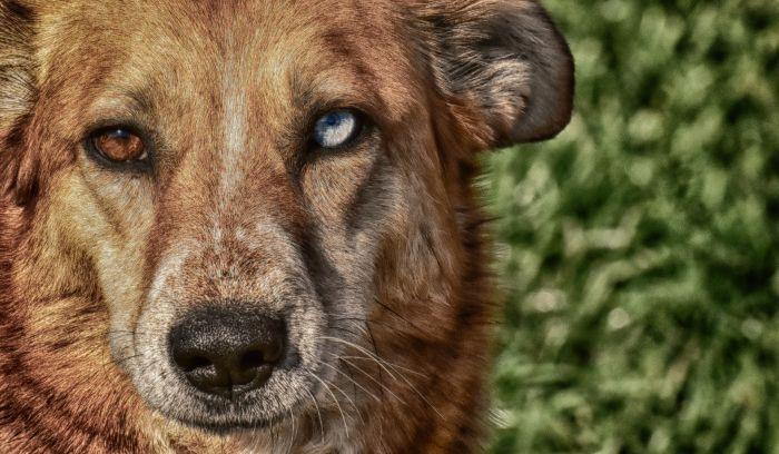 Pies z różnokolorowymi oczami.