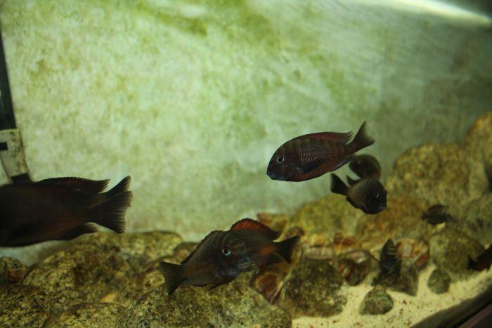 Ryby żałobniczki w akwarium roślinnym