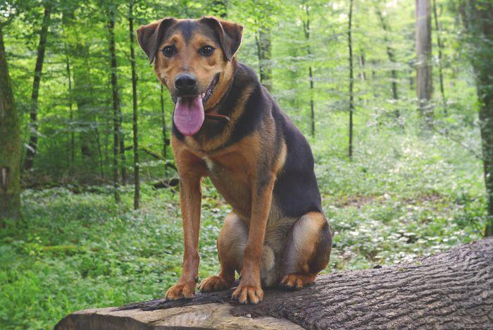 Zgarbiony pies siedzi w lesie.