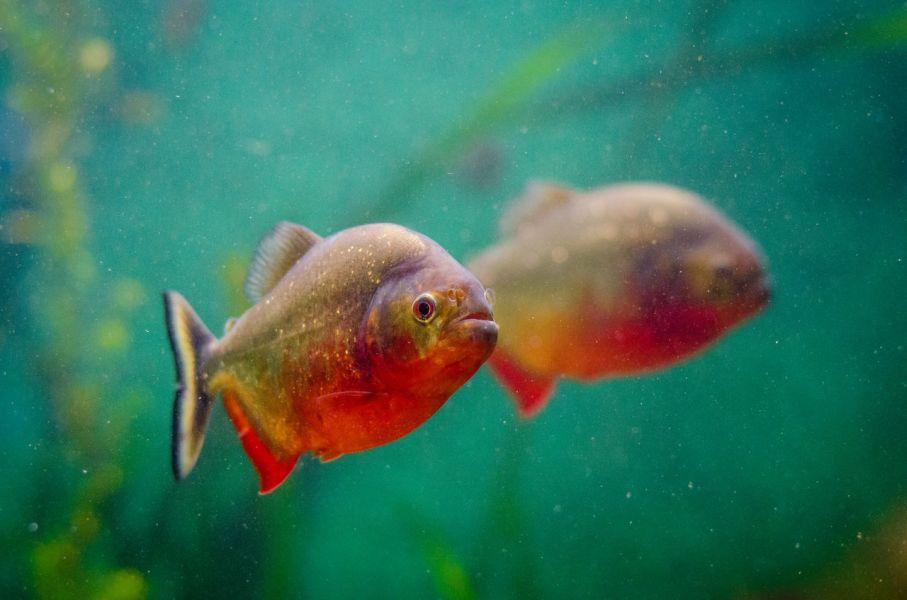 Ryby w akwarium z zieloną wodą.