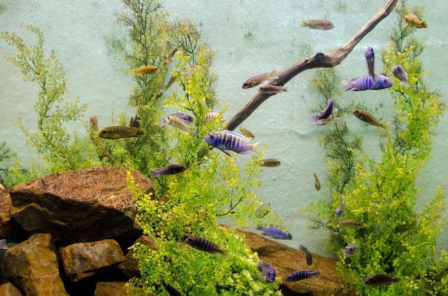 Akwarium z zieloną wodą, jej przyczyną może być za duże zagęszczenie ryb.