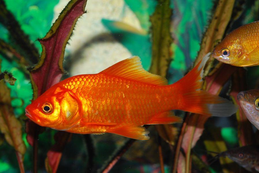 Złota rybka o błyszczących łuskach.