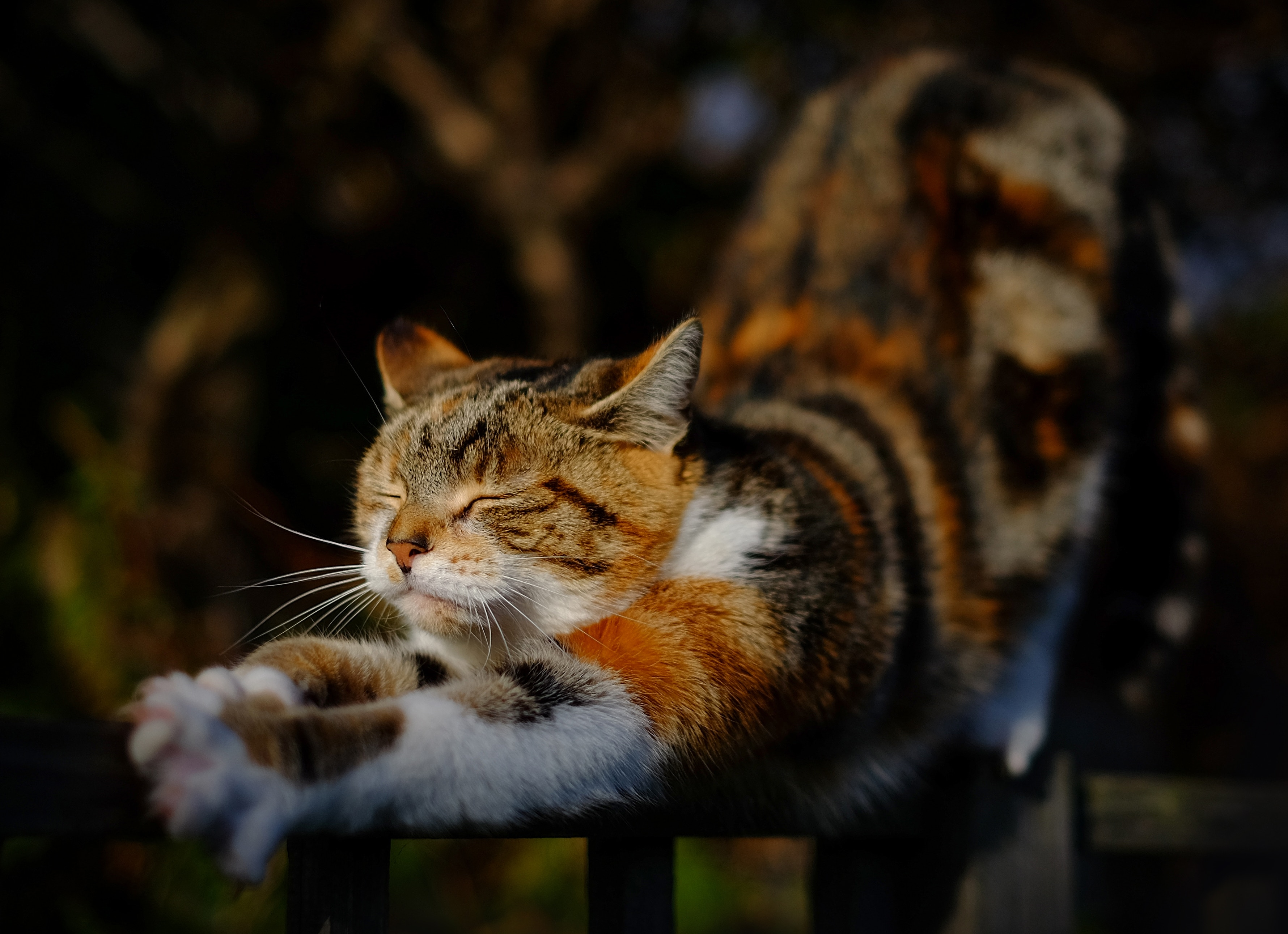 Szylkretowy kot rozciąga się na płocie. Jest narażony na upadek i inne niebezpieczeństwa.