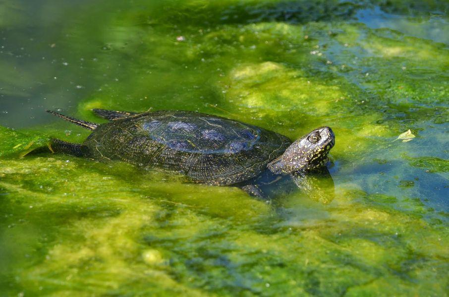 Żółw błotny posiada zielony karapaks.