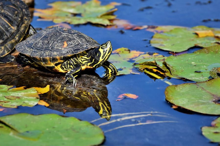 Żółwie wodne są znacznie mniejszych  rozmiarów niż żółwie lądowe, mają też częściej zielone odcienie karapaksu.