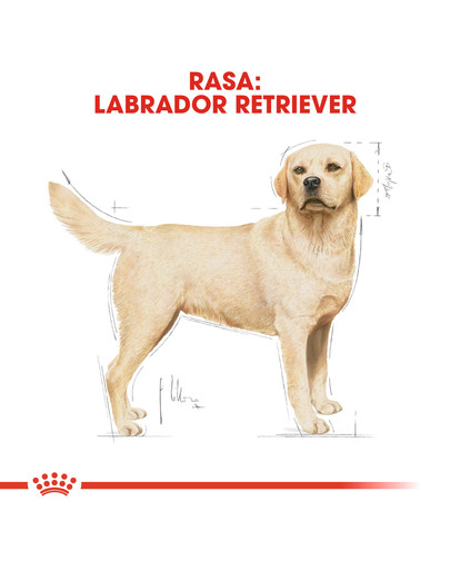 Labrador retriever adult 3 kg
