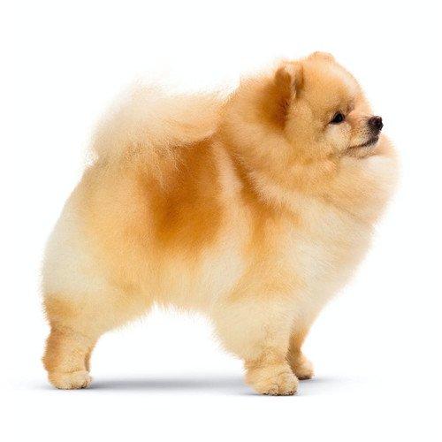 Pies rasy Pomeranian