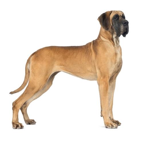 Pies rasy Dog Niemiecki
