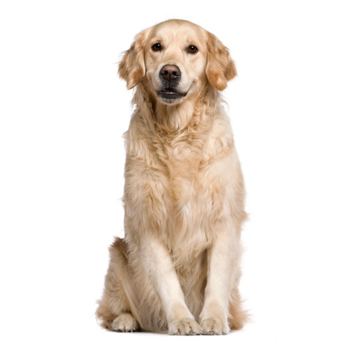 Pies Labrador