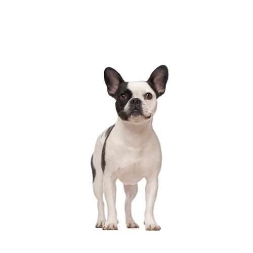 Pies rasy Buldgo Francuski