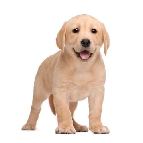 Szczenię Labrador