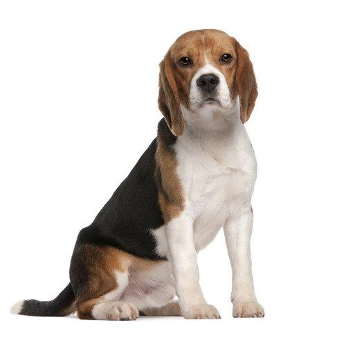 Pies rasy Beagle