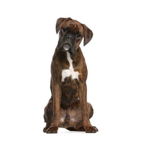 Pies rasy Boxer