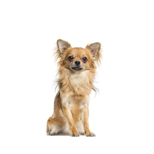 Karma dla psa Chihuahua