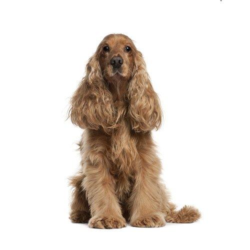 Pies rasy Cocker Spaniel