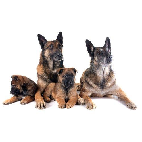 rodzina psów rasy owczarek niemiecki