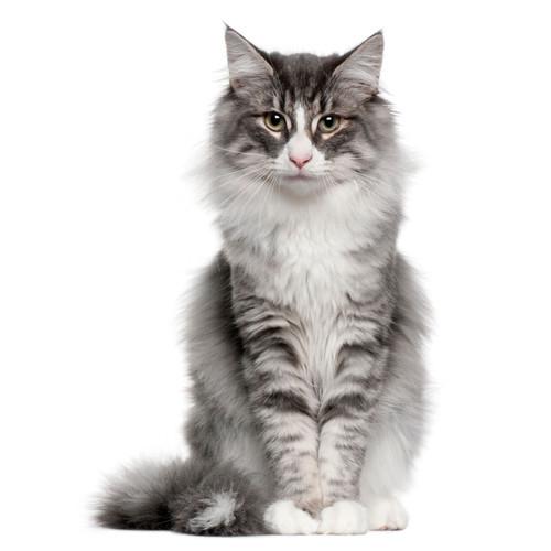 Kot dorosły